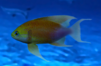 Anthias (male)