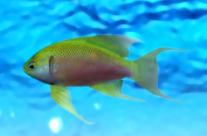 Anthias (female)